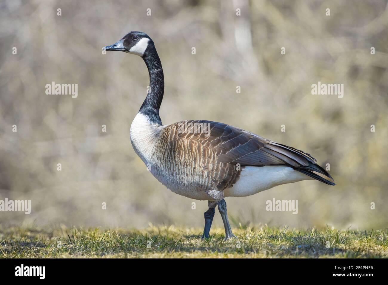 portrait-of-a-canada-goose-2F4PNE6.jpg