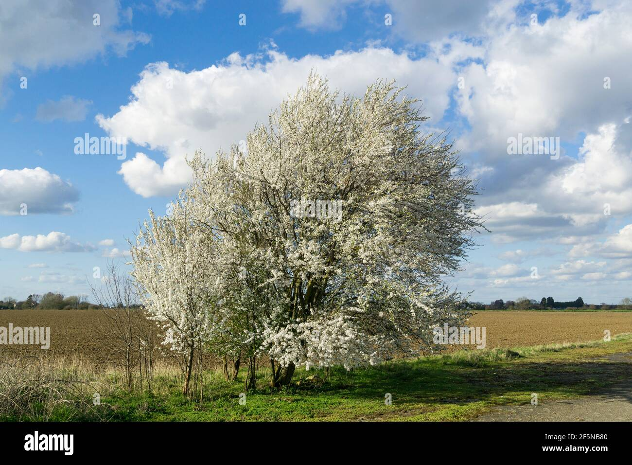 Blackthorn blossom in early spring Stock Photo