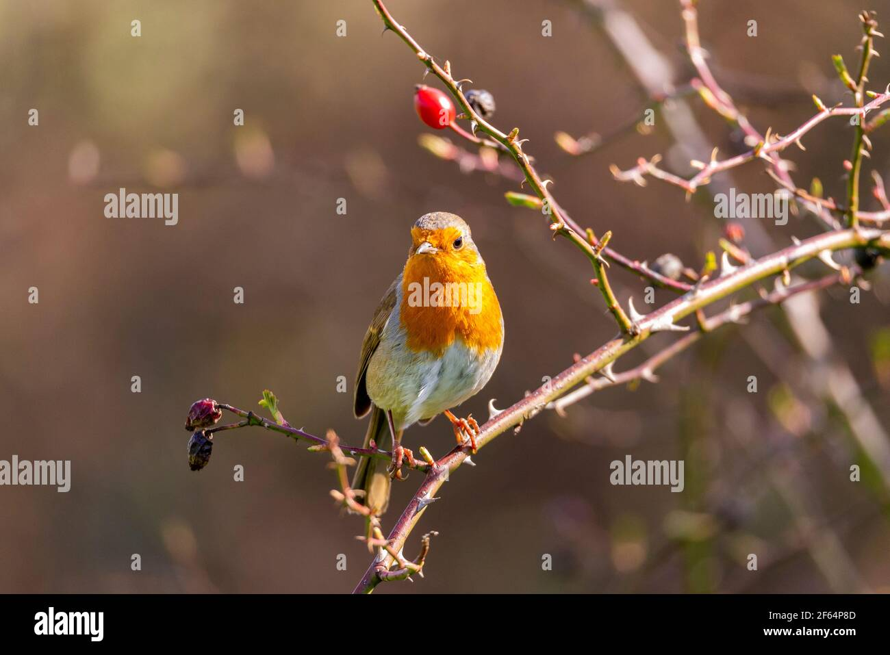 robin-redbreast-on-a-thorn-bush-with-a-red-berry-european-robin-erithacus-rubecula-sitting-on-branch-with-thorns-woodland-in-hounslow-london-uk-2F64P8D.jpg