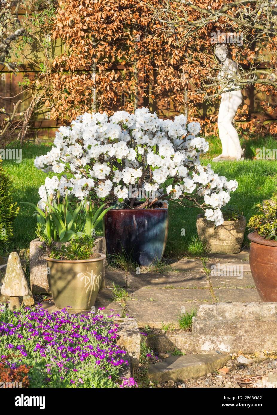 evergreen-rhododendron-shrub-snow-lady-from-cilatum-x-leucaspis-in-a-domestic-garden-england-uk-2F65GA2.jpg