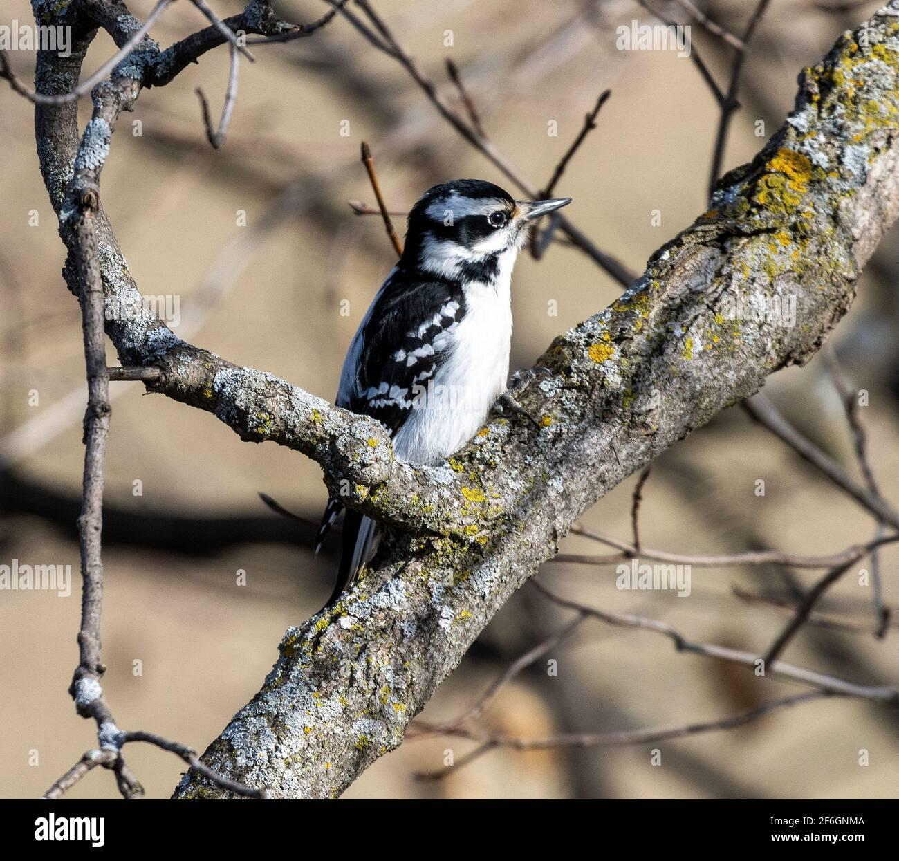 female-downy-woodpecker-on-tree-branch-2F6GNMA.jpg