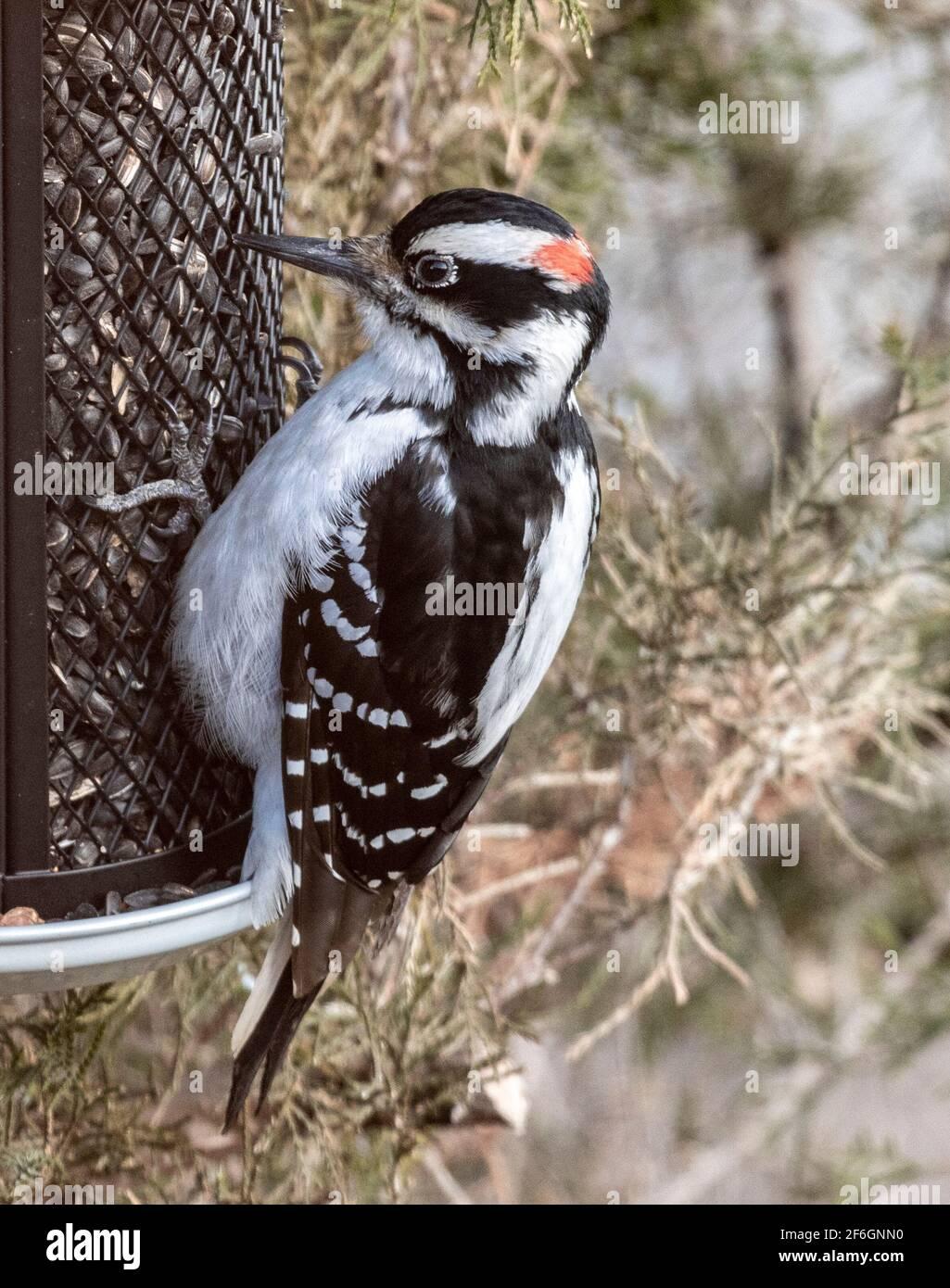 male-downy-woodpecker-on-bird-feeder-eating-sunflower-seeds-2F6GNN0.jpg