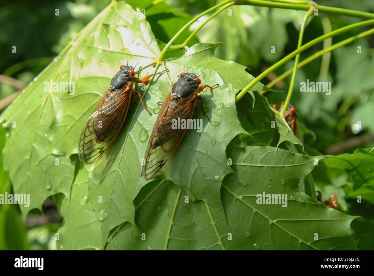 usa-maryland-insect-cicada-cicadas-cicadoidea-brood-x-17-year-cicada-emerges-from-the-ground-to-reproduce-2F6J27G.jpg