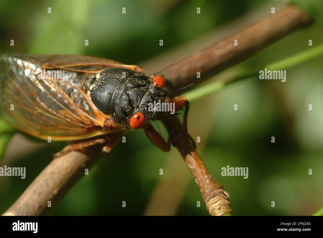USA Maryland Insect Cicada Cicadas Cicadoidea Brood X 17 year cicada emerges from the ground to reproduce Stock Photo