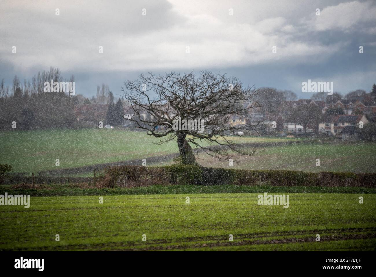 birmingham-uk-6th-april-2021-snow-fell-across-birmingham-in-an-unusual-twist-of-weather-this-afternoon-pictured-a-frosty-tree-on-farmland-in-the-pheasey-village-of-north-birmingham-credit-ryan-underwood-alamy-live-news-2F7E1JH.jpg