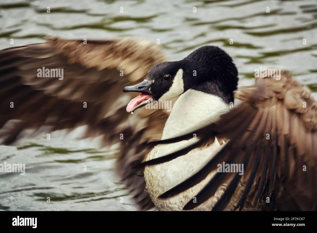 canada-goose-branta-canadensis-standing-