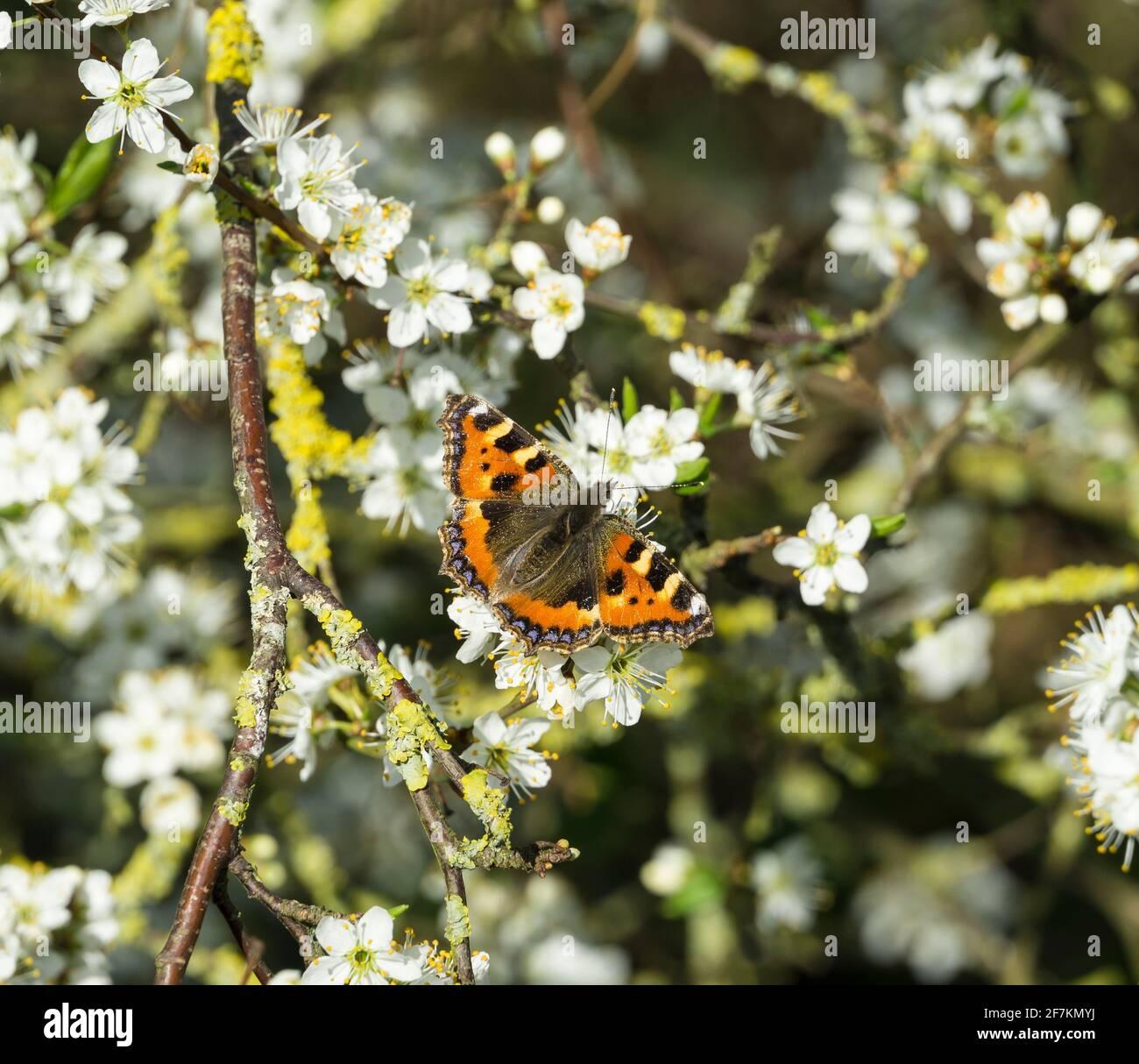 small-tortoiseshell-butterfly-on-may-blossom-2F7KMYJ.jpg