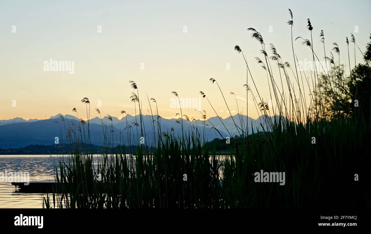 Tall reeds by lakeside of lake Varese in Italy during sunset time. Stock Photo