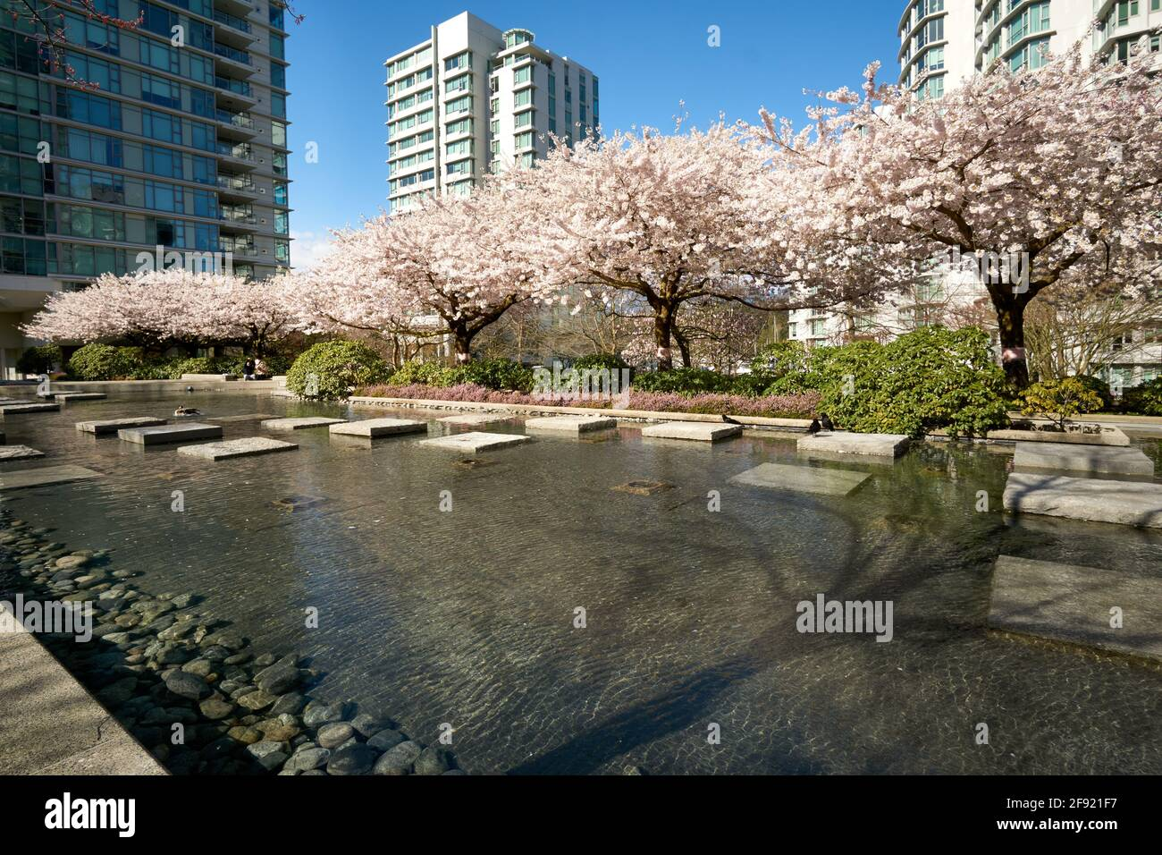 blossoming-ornamental-cherry-trees-in-sp