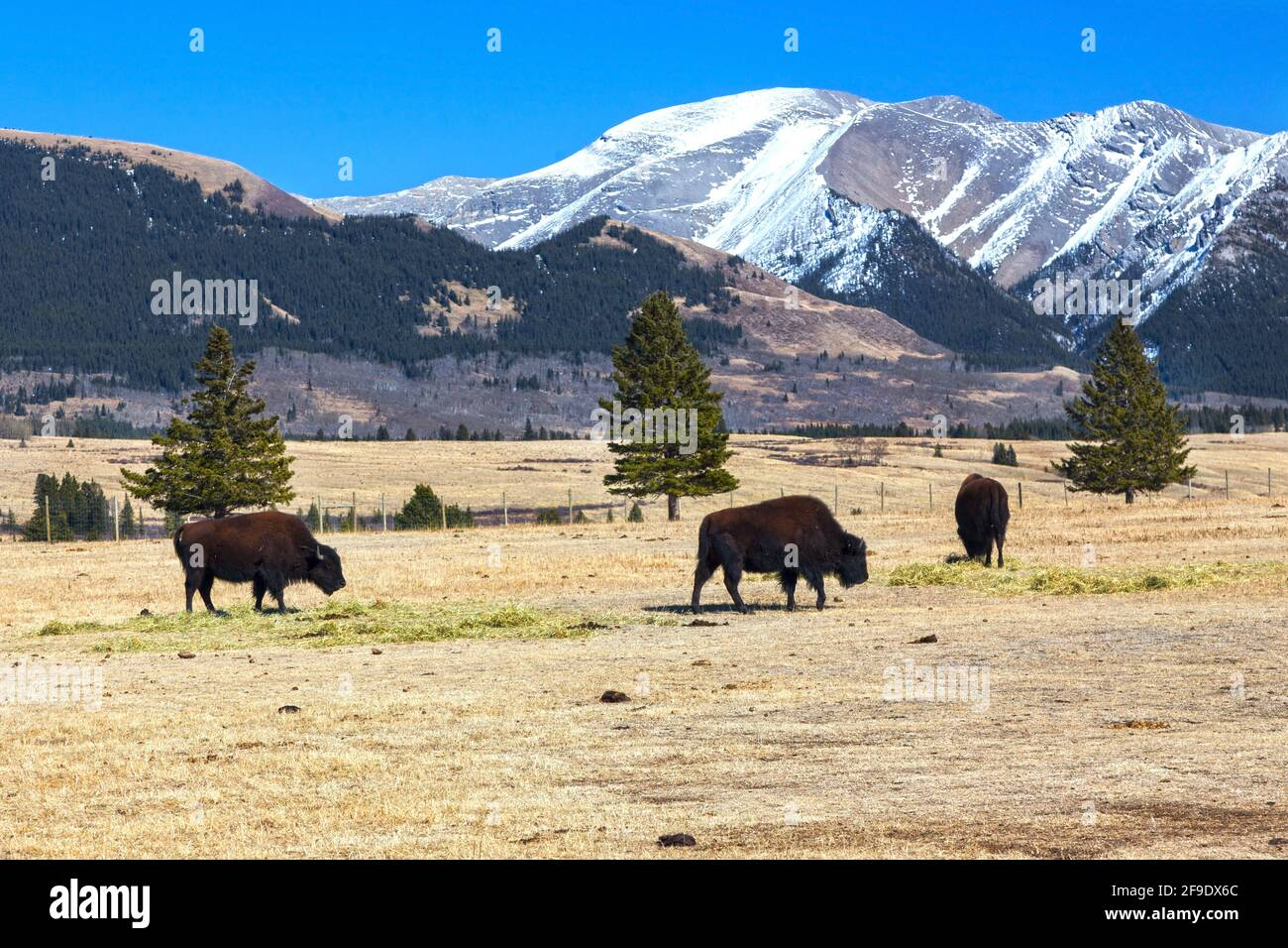 buffalo-animal-herd-grazing-on-prairie-g