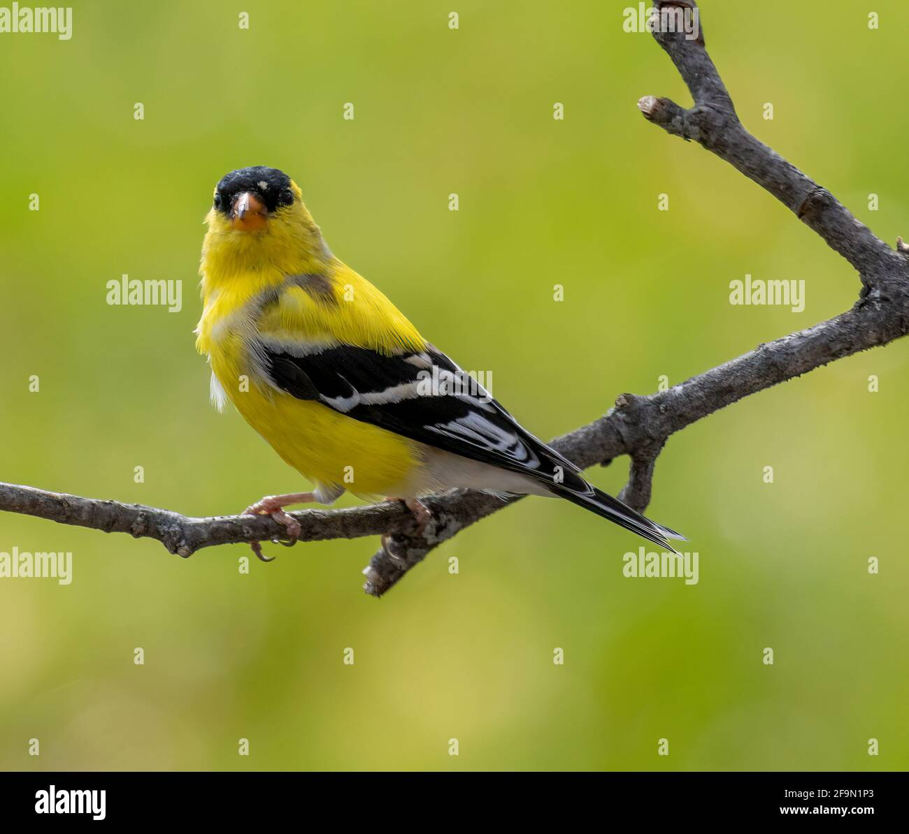 male-american-goldfinch-perched-on-branch-looking-at-camera-spinus-tristis-2F9N1P3.jpg
