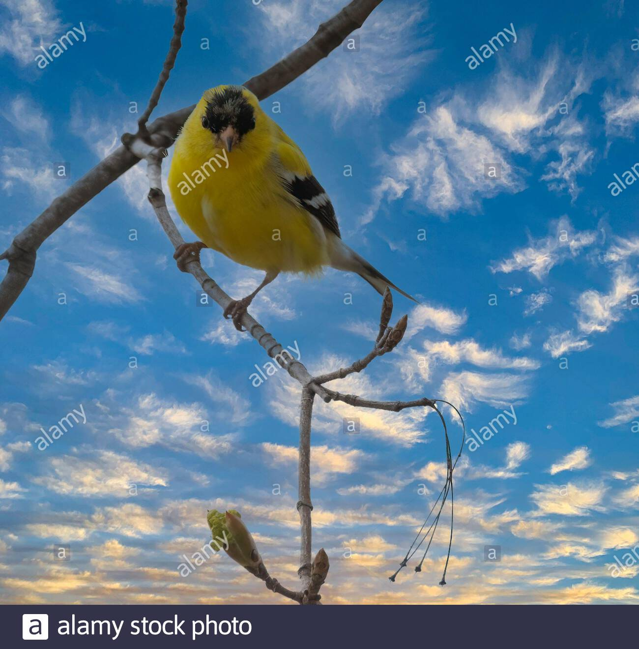 american-goldfinch-spinus-tristis-perched-on-branch-with-bright-sky-with-clouds-in-background-looking-at-camera-2F9N1R9.jpg