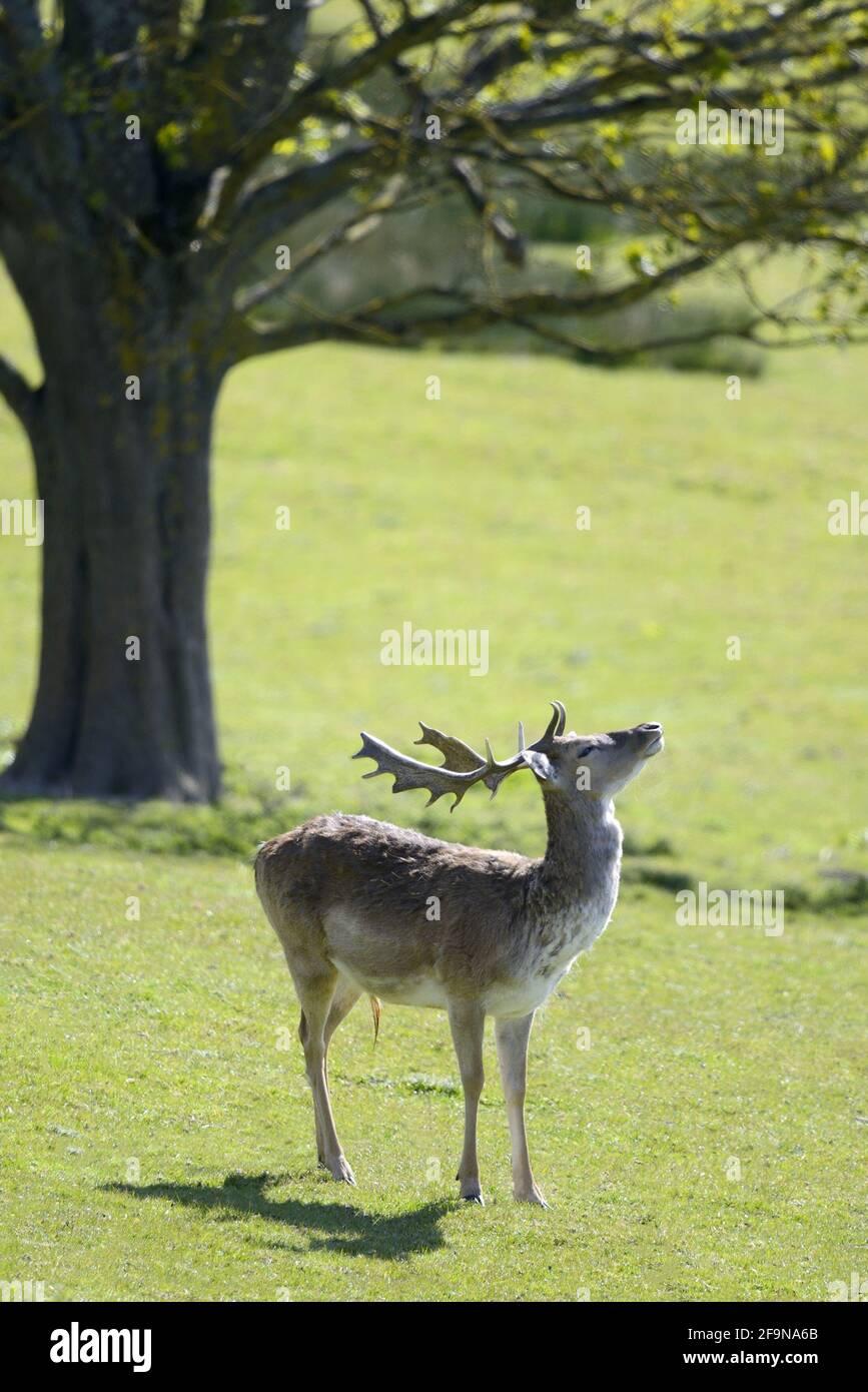 fallow-deer-dama-dama-in-boughton-monchelsea-deerpark-uk-kent-late-june-2F9NA6B.jpg
