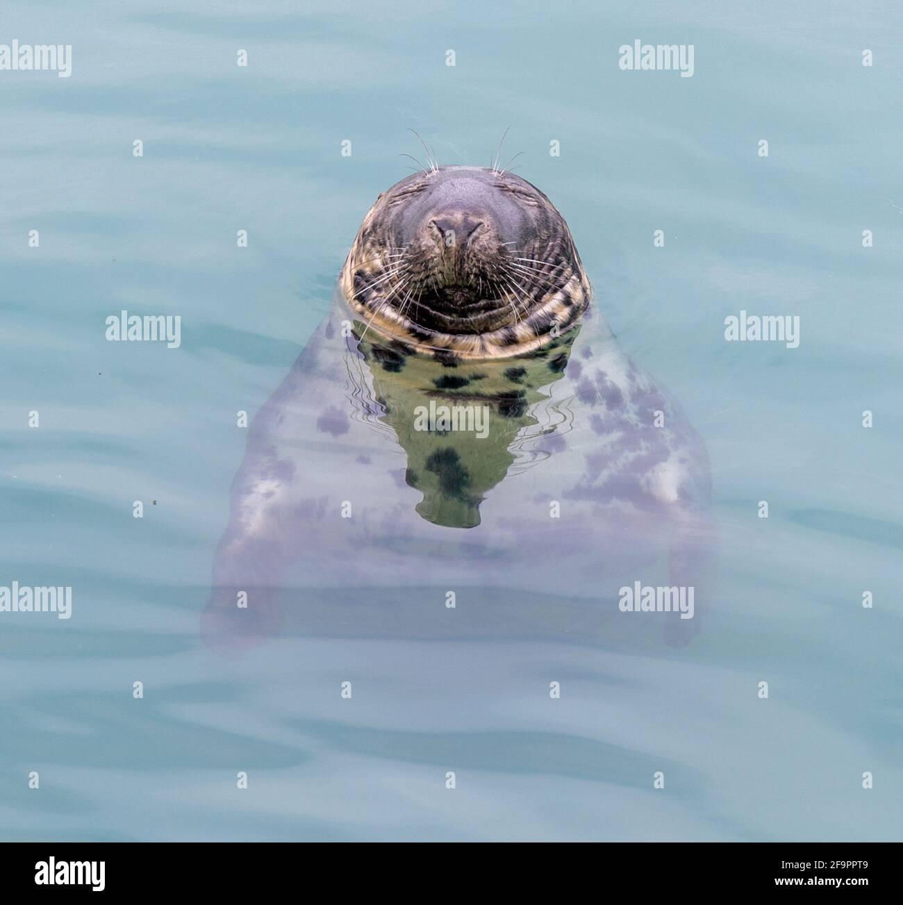 grey-seal-halichoerus-grypus-asleep-while-floating-in-the-sea-ireland-2F9PPT9.jpg
