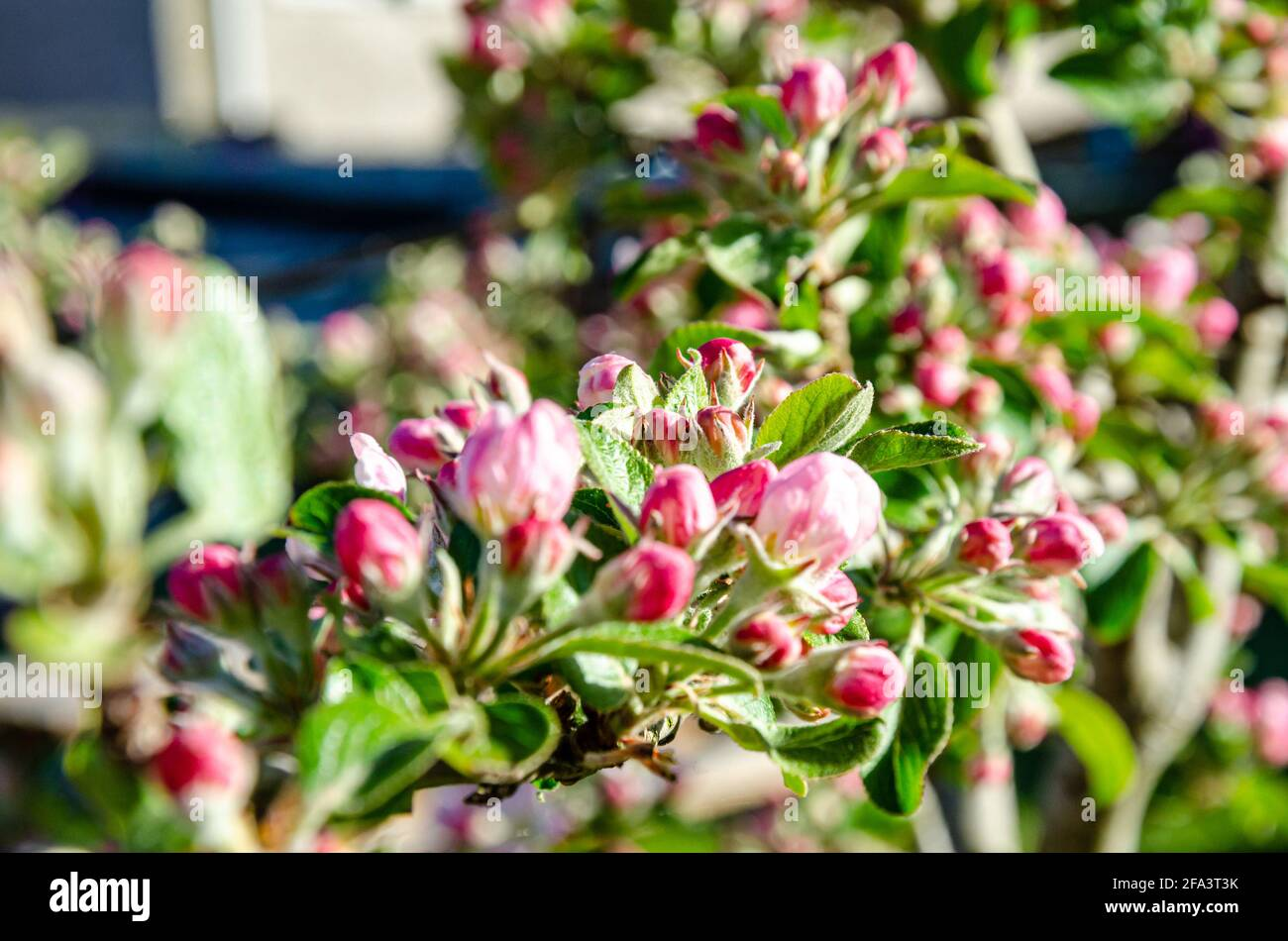 apple-blossom-and-flower-buds-on-an-apple-tree-in-a-residential-garden-2FA3T3K.jpg
