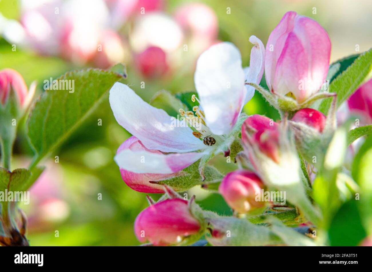 apple-blossom-and-flower-buds-on-an-apple-tree-in-a-residential-garden-2FA3T51.jpg