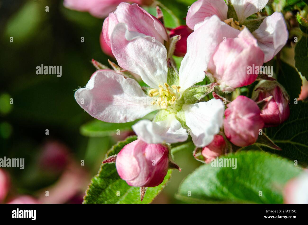 apple-blossom-and-flower-buds-on-an-apple-tree-in-a-residential-garden-2FA3T5C.jpg