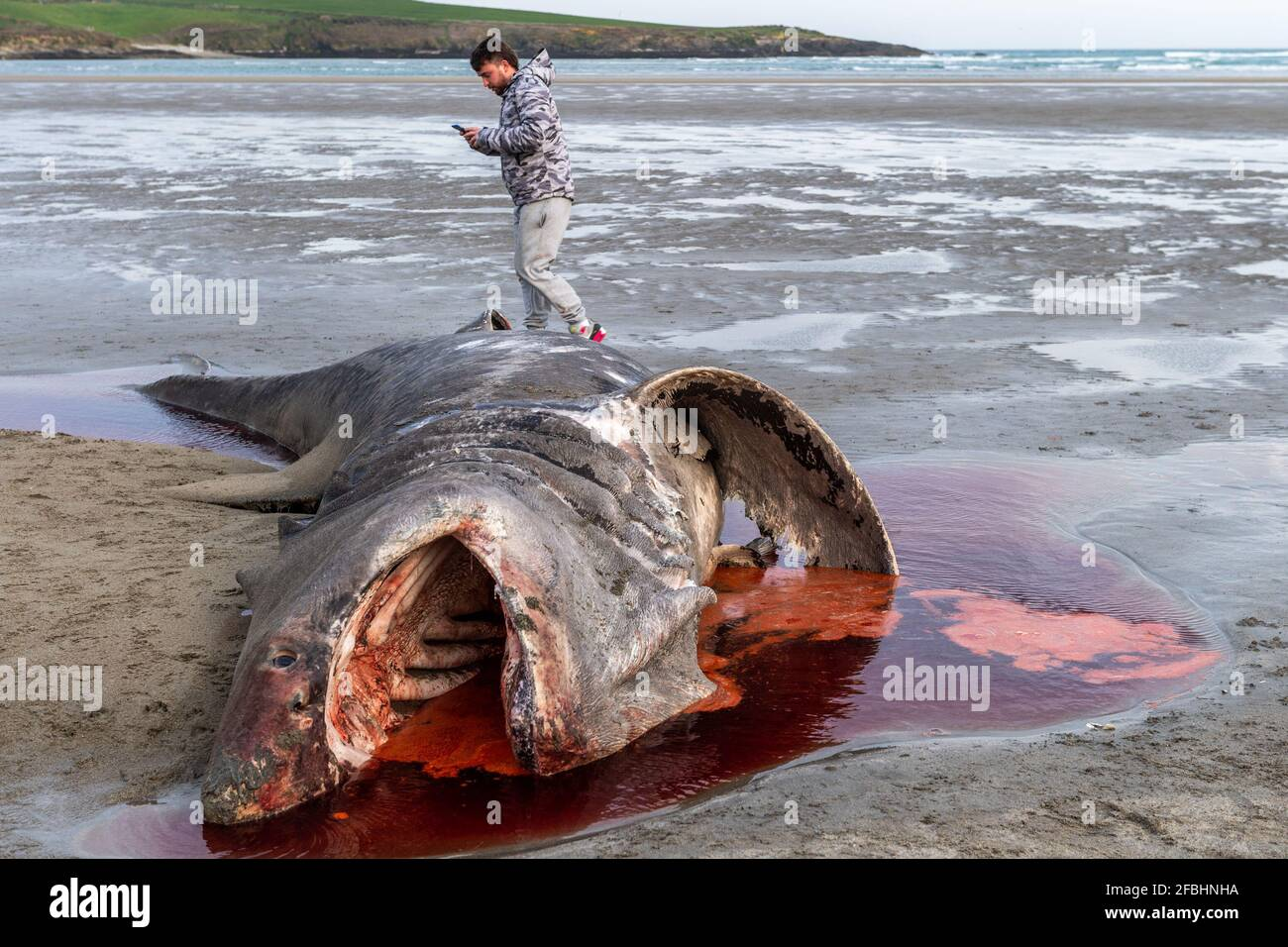 inchydoney-west-cork-ireland-23rd-apr-2021-a-basking-shark-cetorhinus-maximus-washed-up-on-inchydoney-beach-in-west-cork-this-evening-it-is-thought-to-be-one-of-two-sharks-which-have-been-sighted-off-the-west-cork-coast-in-the-last-few-days-the-shark-drew-a-crowd-of-both-locals-and-holiday-makers-to-view-the-dead-fish-credit-ag-newsalamy-live-news-2FBHNHA.jpg