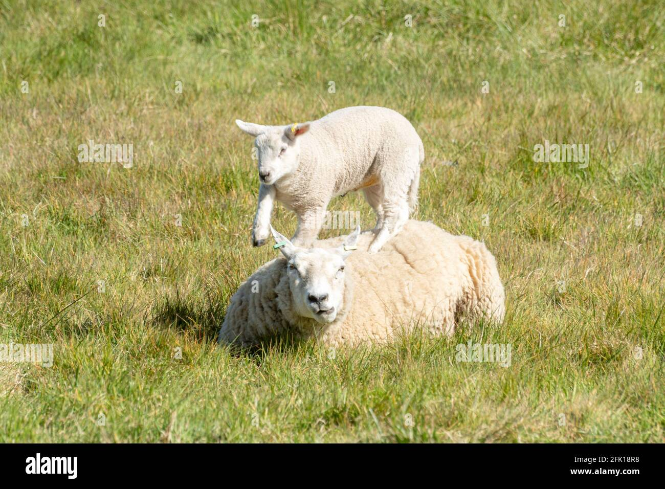gambolling-lamb-jumping-on-its-mothers-back-sheep-in-field-during-spring-uk-2FK18R8.jpg