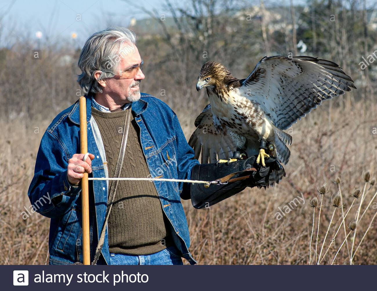 falconer-with-juvenile-red-tailed-hawk-b