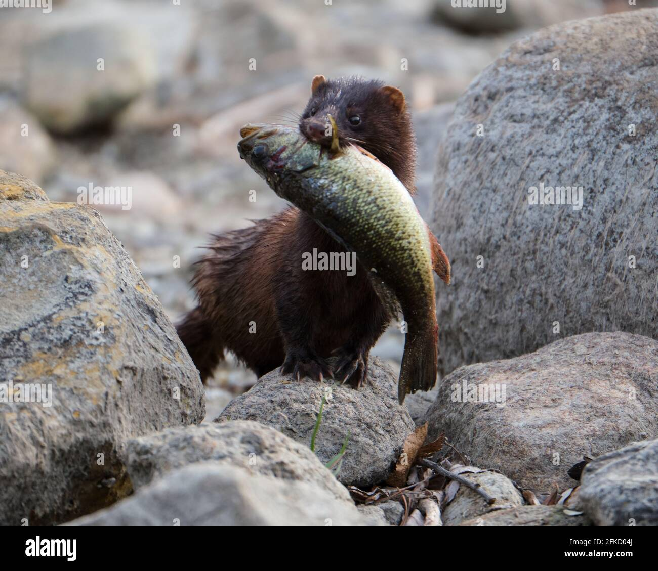 an-american-mink-coming-out-of-the-rideau-canal-with-a-fish-in-its-mouth-2FKD04J.jpg