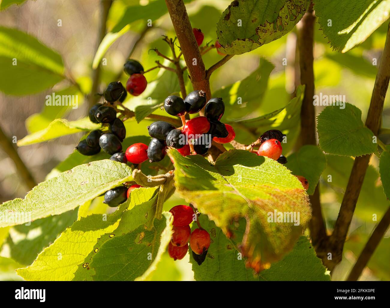 wild-berries-in-central-ontario-canada-2