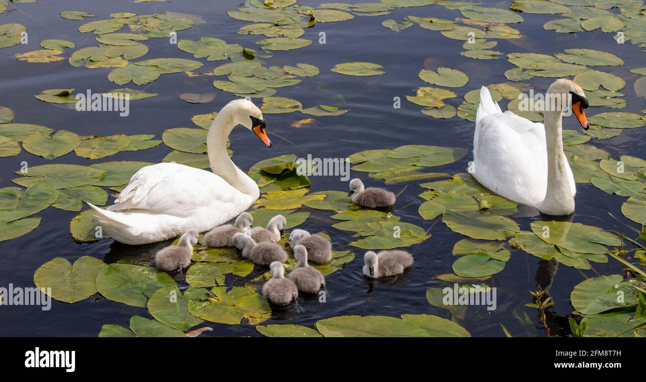 mute-swan-cygnus-olor-with-cygnets-swimming-through-lillly-pads-2FM8T7H.jpg