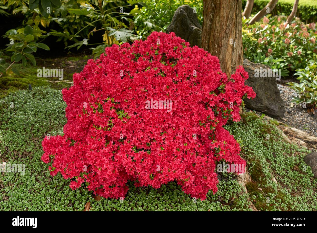Red Japanese azalea Japanica bush flowering in spring in a garden, Vancouver, British Columbia, Canada Stock Photo