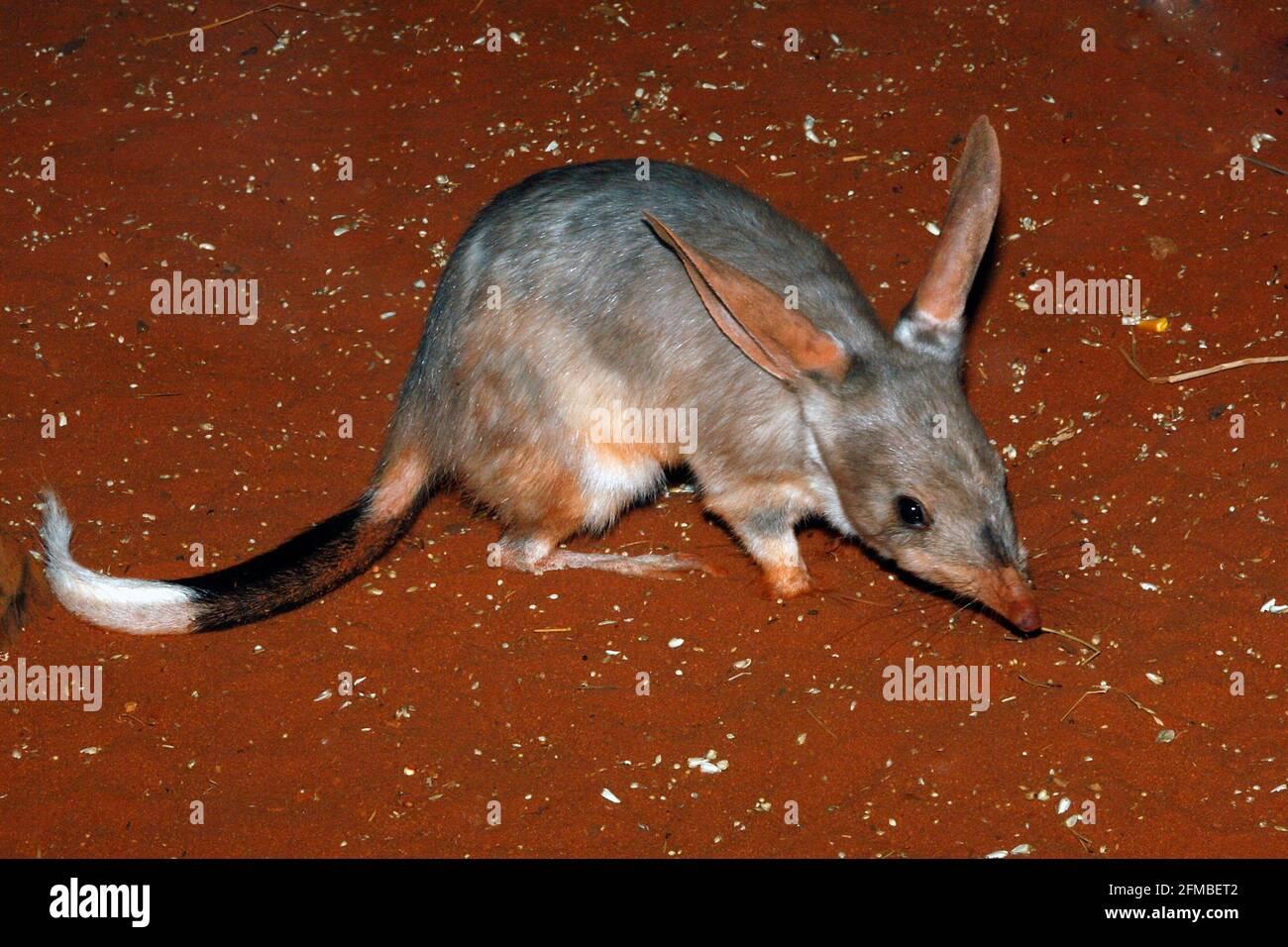 nocturnal-greater-bilby-macrotis-lagotis-scavenging-at-night-australia-2FMBET2.jpg