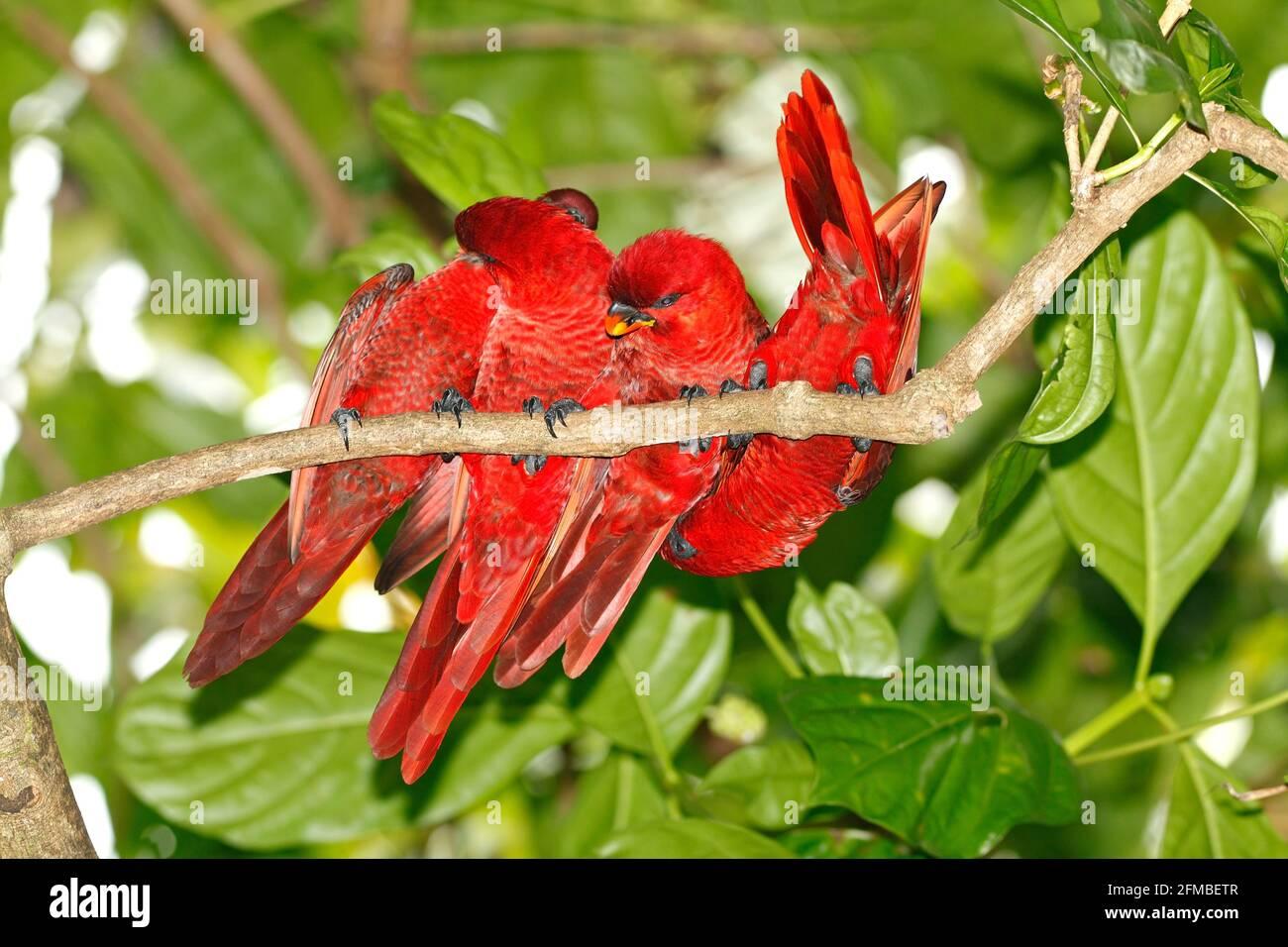 cardinal-lories-preening-each-other-pseudeos-cardinalis-chalcopsitta-cardinalis-four-wild-birds-photographed-at-uepi-solomon-islands-2FMBETR.jpg