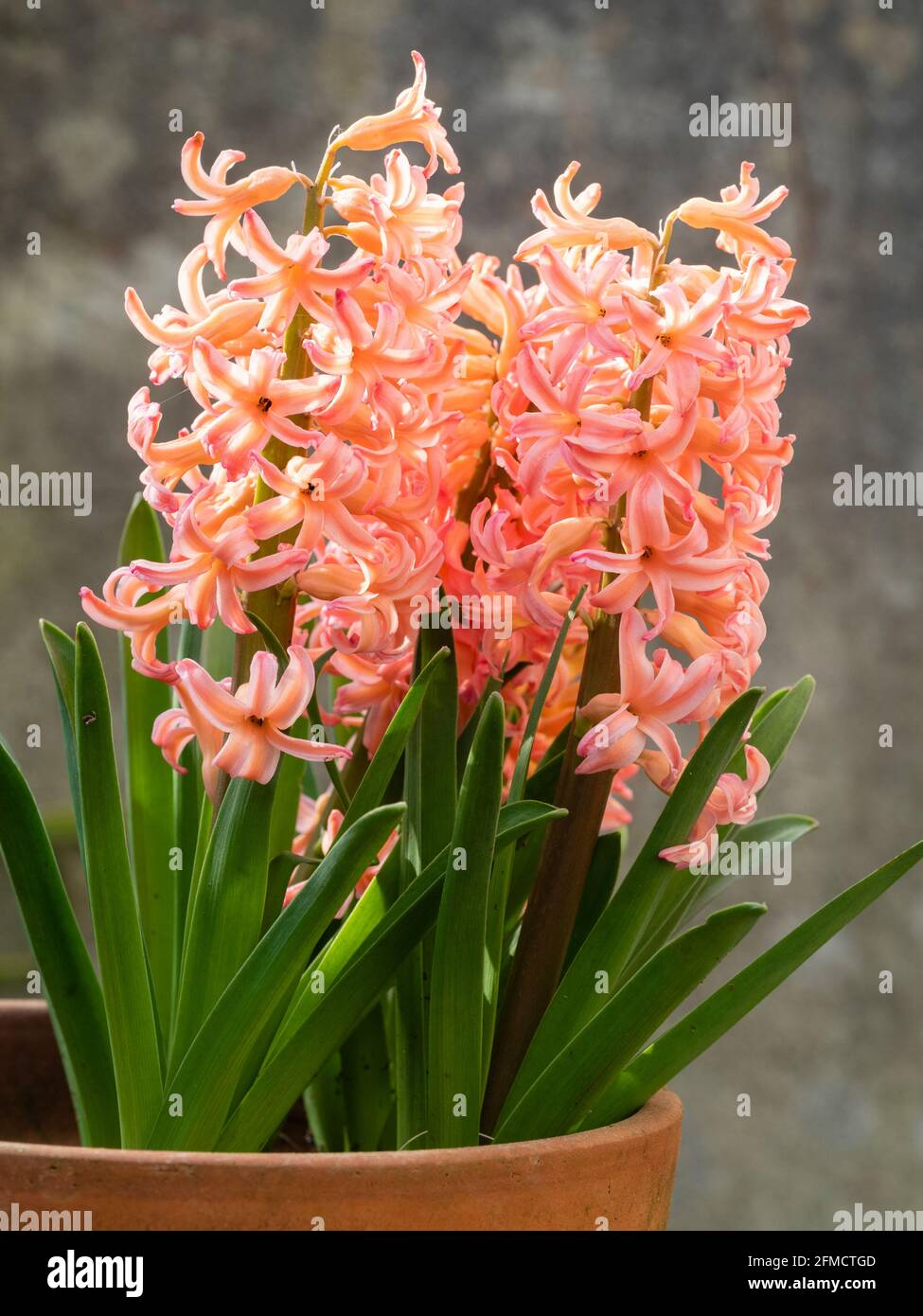 Dense racemes of peach flowers of the spring blooming hardy bulb hyacinth, Hyacinthus orientalis 'Gipsy Queen' Stock Photo