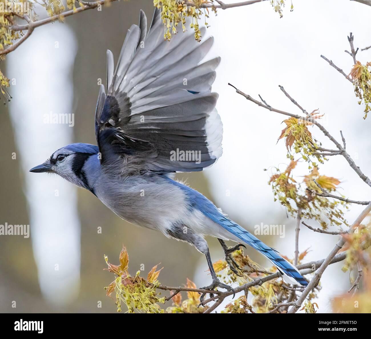 north-american-blue-jay-cyanocitta-crist