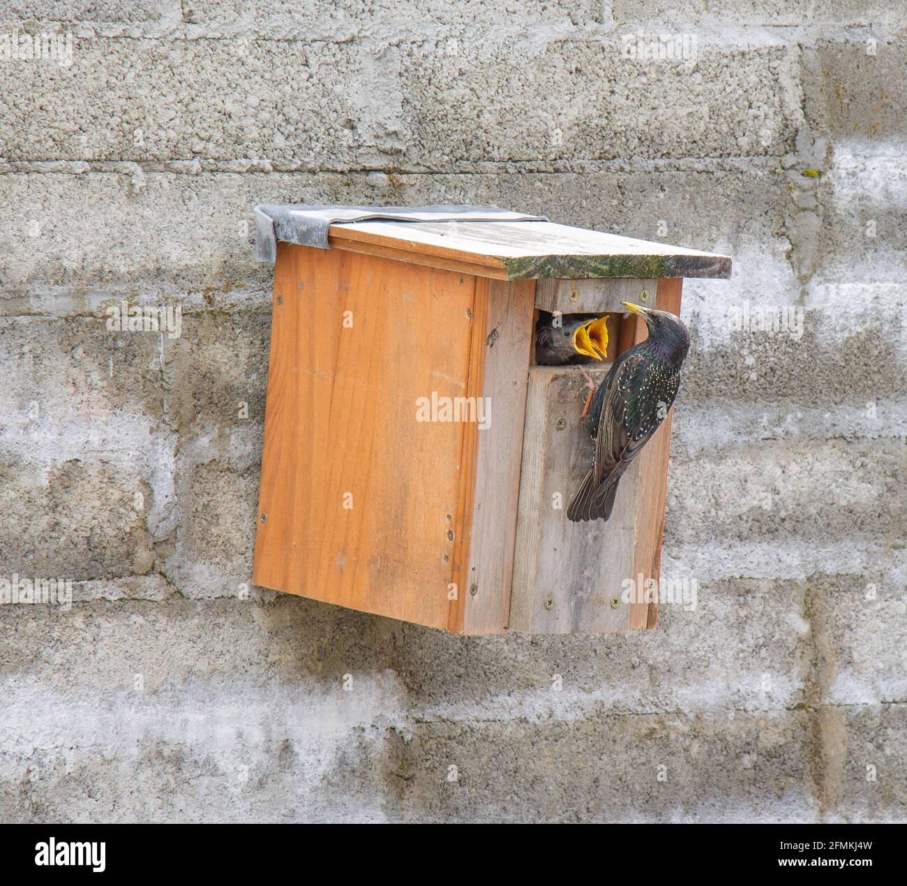 adult-european-starling-sturnus-vulgaris-feeding-chicks-at-nest-box-2FMKJ4W.jpg