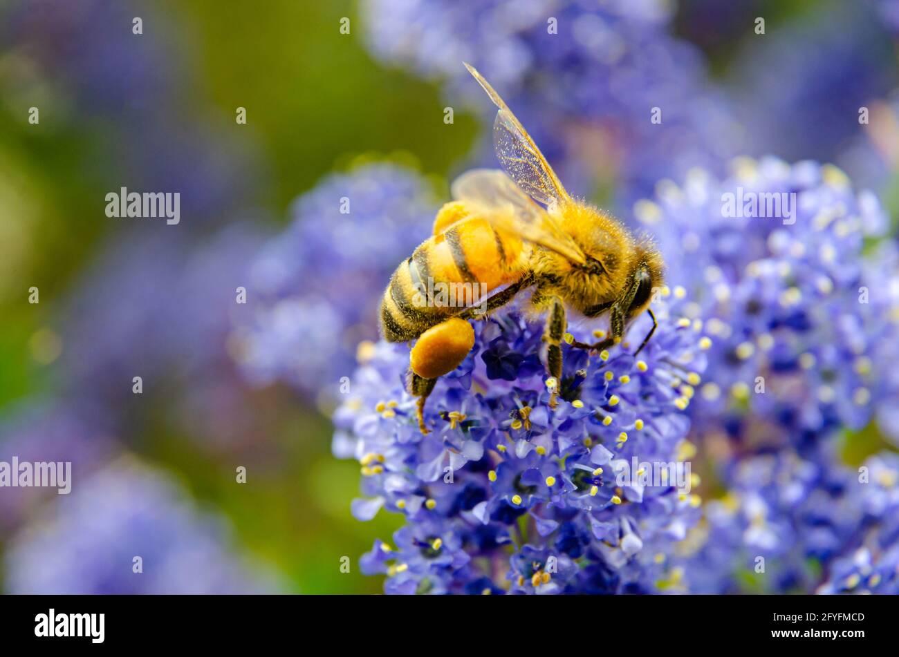 close-up-of-a-honey-bee-on-ceanothus-or-california-lilac-flowers-2FYFMCD.jpg