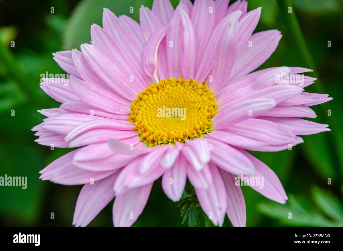 close-up-view-of-a-pink-gerbera-flower-in-a-garden-2FYFMDG.jpg
