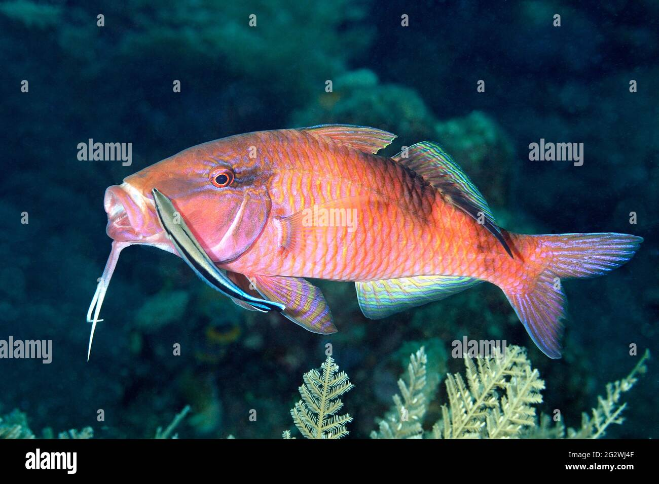 longbarbel-goatfish-parupeneus-macronemus-being-cleaned-by-a-blue-streak-cleaner-wrasse-labroides-dimidiatus-tulamben-bali-indonesia-2G2WJ4F.jpg