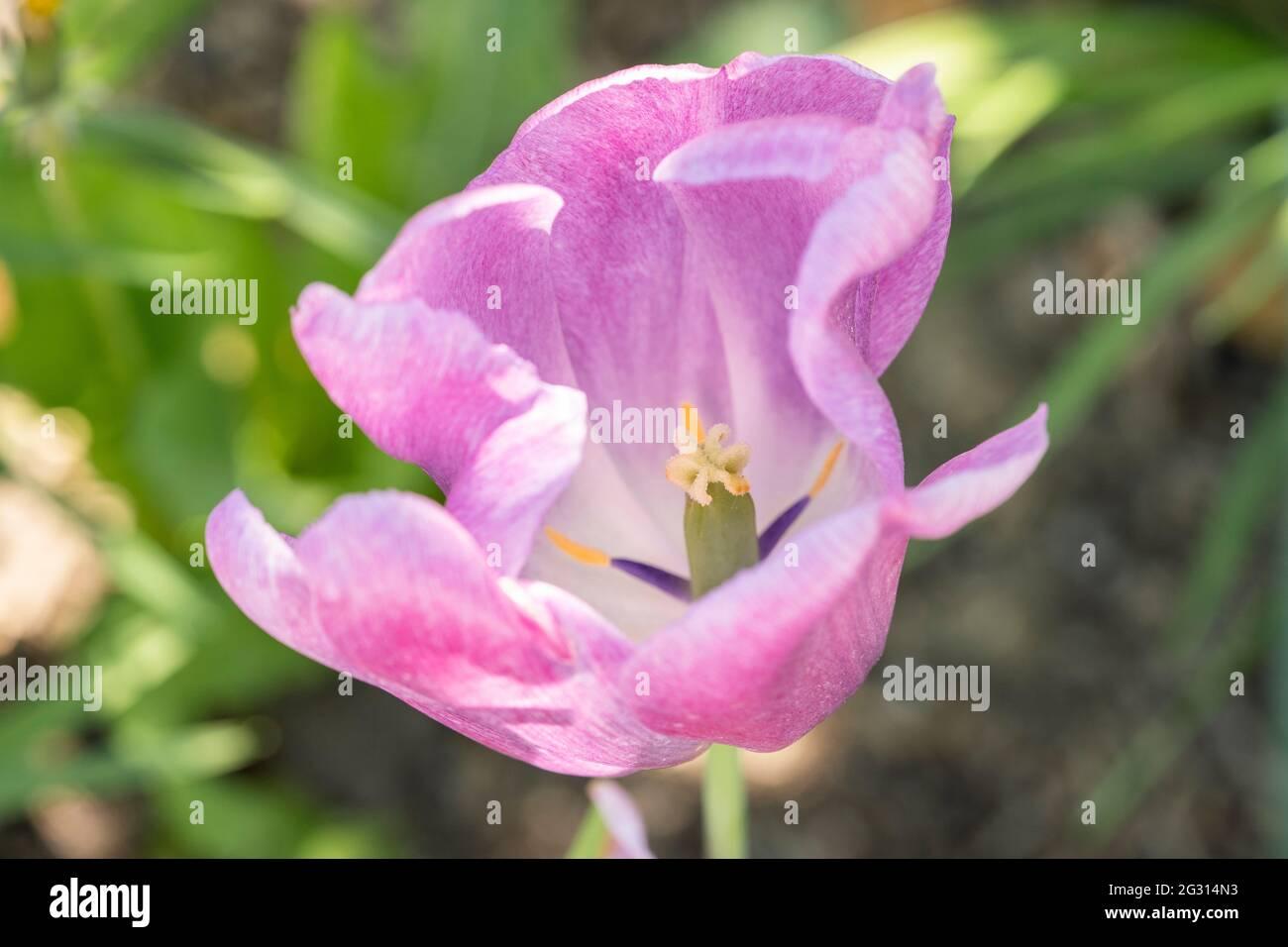 pale-pink-tulip-2G314N3.jpg