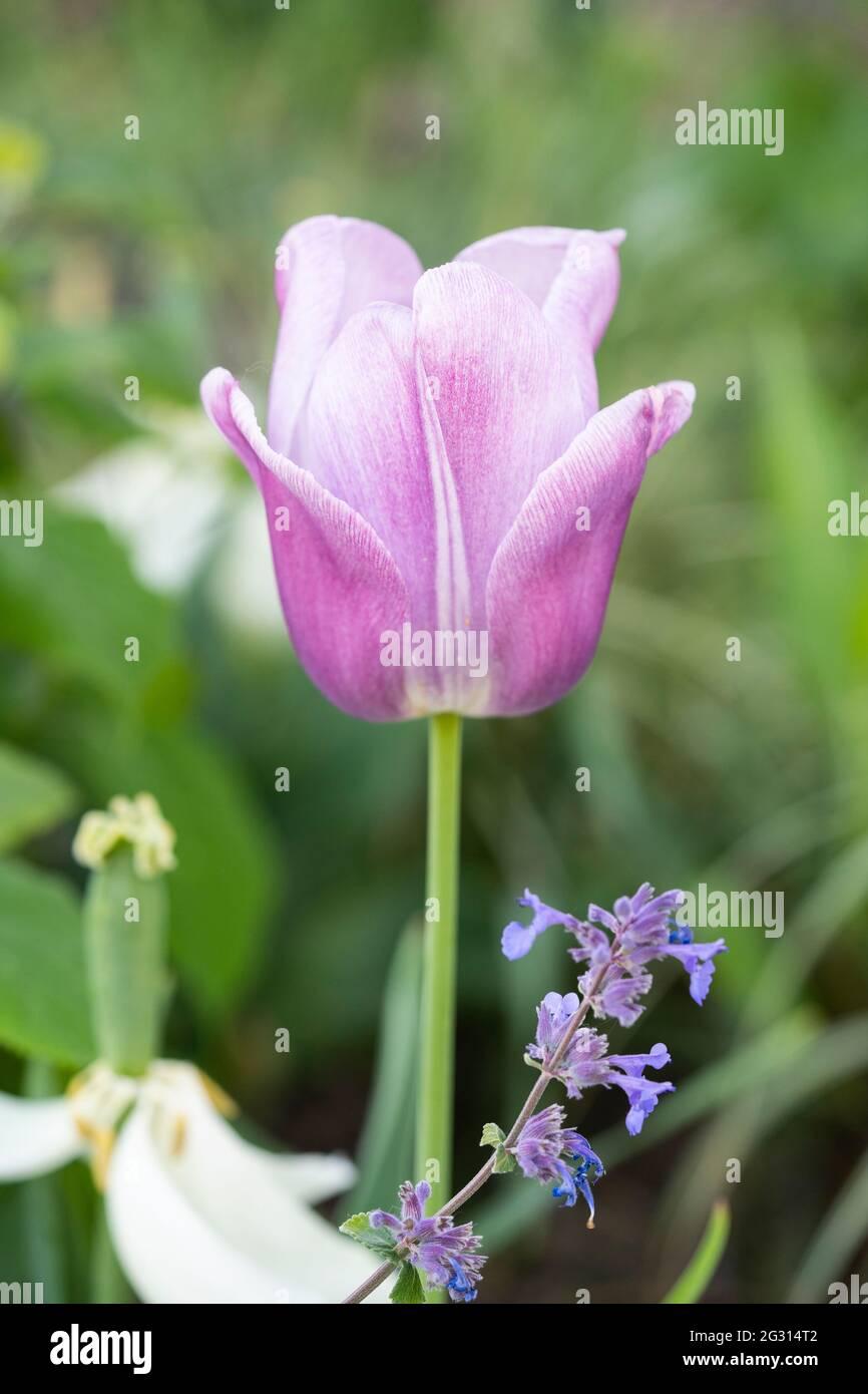 pale-pink-tulip-2G314T2.jpg