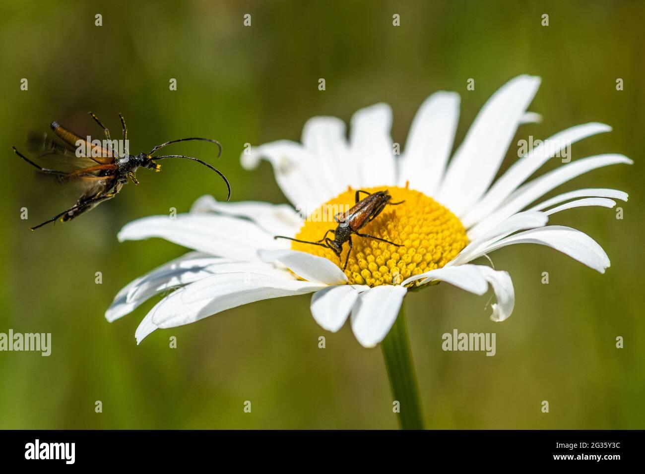 flower-longhorn-beetles-stenurella-melanura-with-a-beetle-flying-towards-on-an-oxeye-daisy-leucanthemum-vulgare-uk-2G35Y3C.jpg