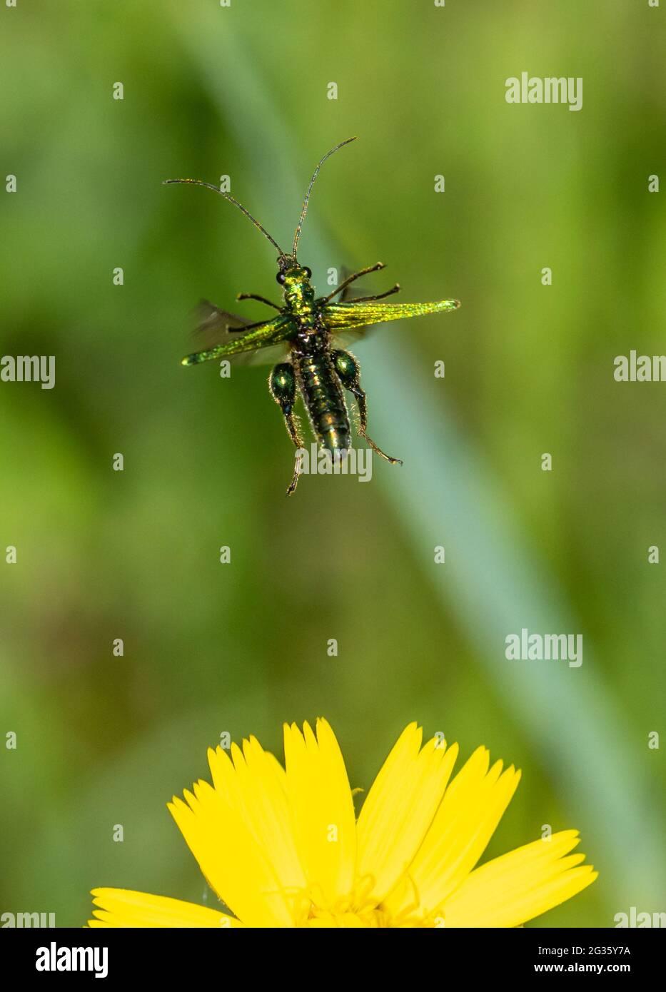 thick-legged-flower-beetle-oedemera-nobilis-in-flight-metallic-green-beetle-taking-off-from-wildflower-on-sunny-june-day-uk-2G35Y7A.jpg