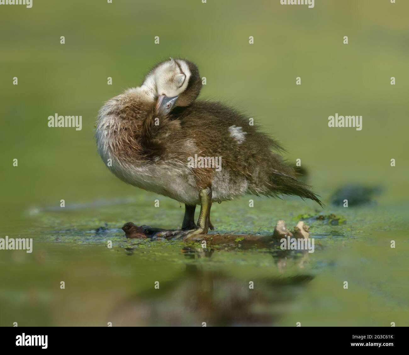 a-wood-duck-duckling-aix-sponsa-preening-in-early-morning-on-a-log-to-enjoy-the-rays-of-the-sun-on-a-side-pond-of-the-rideau-canal-waterways-2G3C61K.jpg