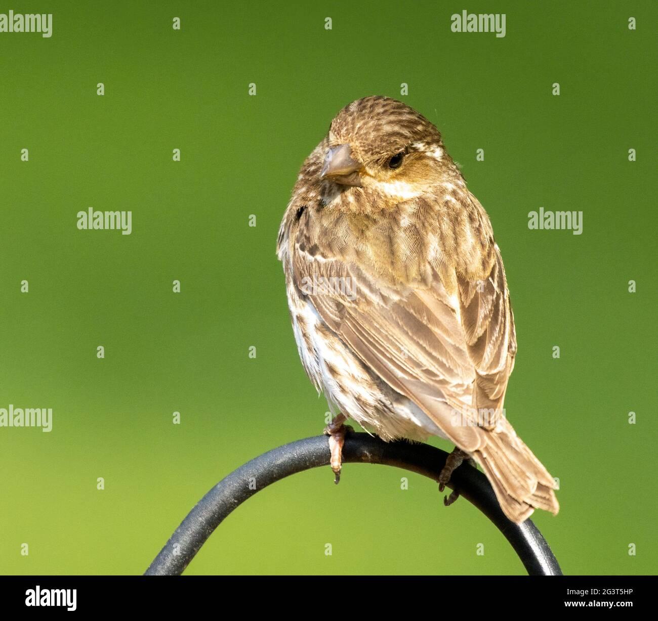 sparrow-perched-on-bar-looking-backward-