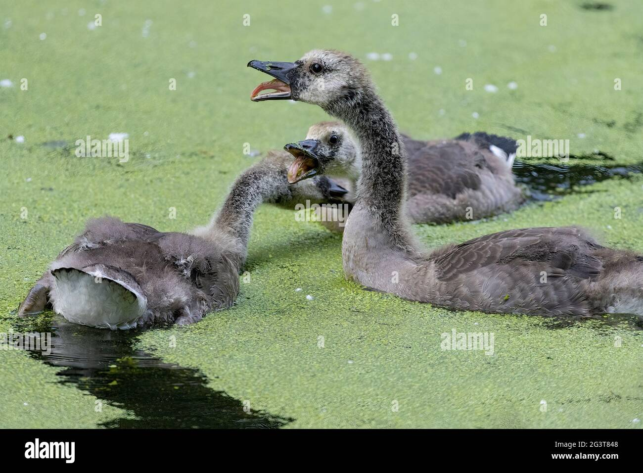 canada-geese-goslings-in-water-swimming-