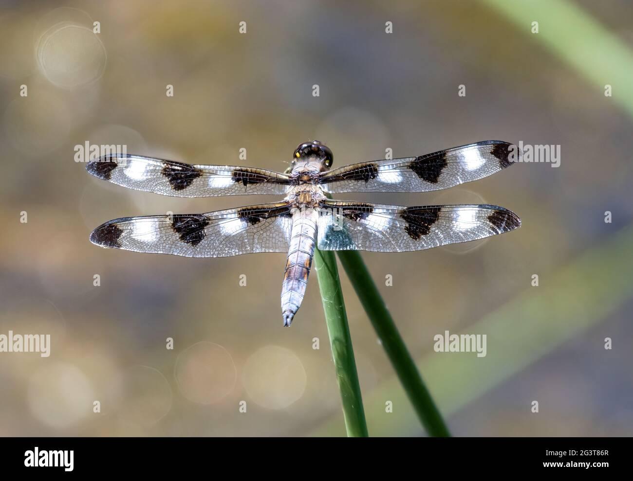 male-twelve-spotted-skimmer-dragonfly-li