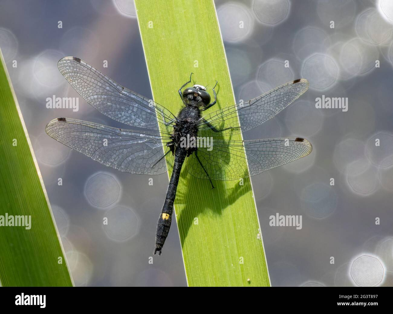 male-dot-tailed-whiteface-dragonfly-2G3T