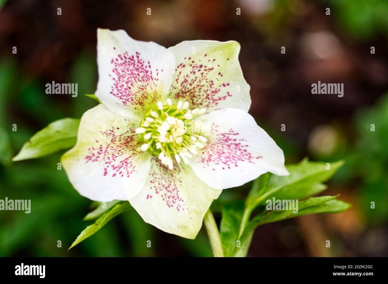Helleborus orientalis Stock Photo