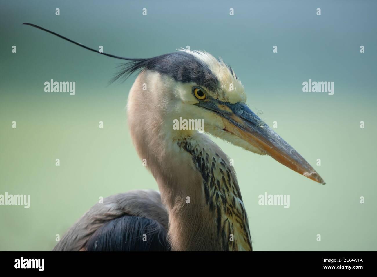 a-great-blue-heron-ardea-herodias-head-shot-portrait-with-crest-flowing-in-the-wind-2G64WTA.jpg
