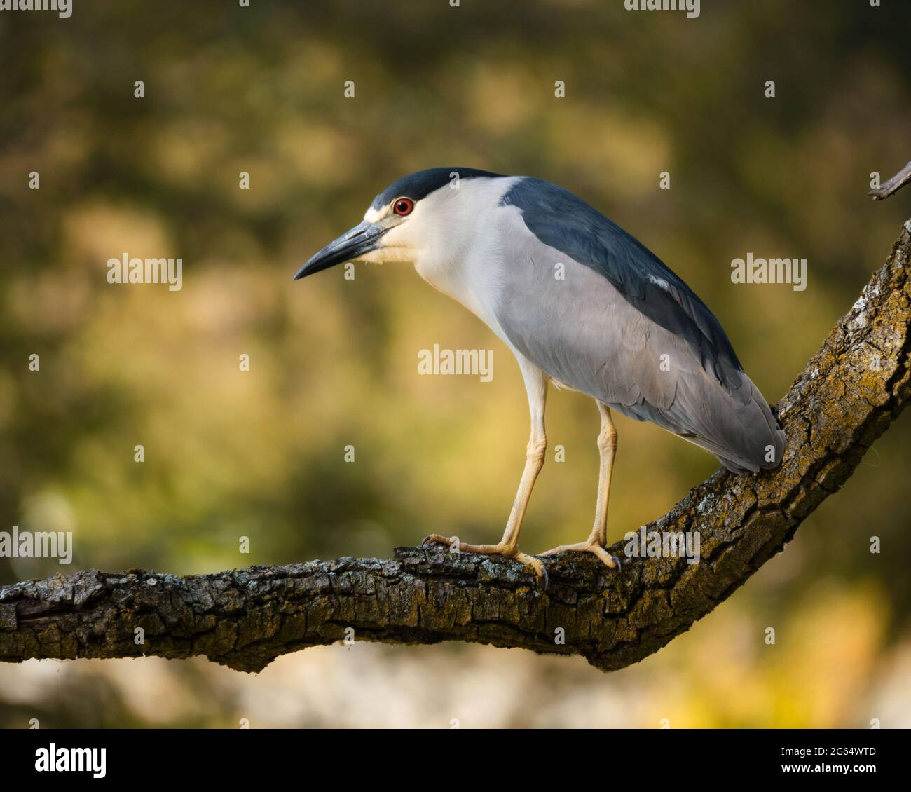 a-black-crowned-night-heron-nycticorax-nycticorax-in-profile-perched-on-a-large-branch-2G64WTD.jpg
