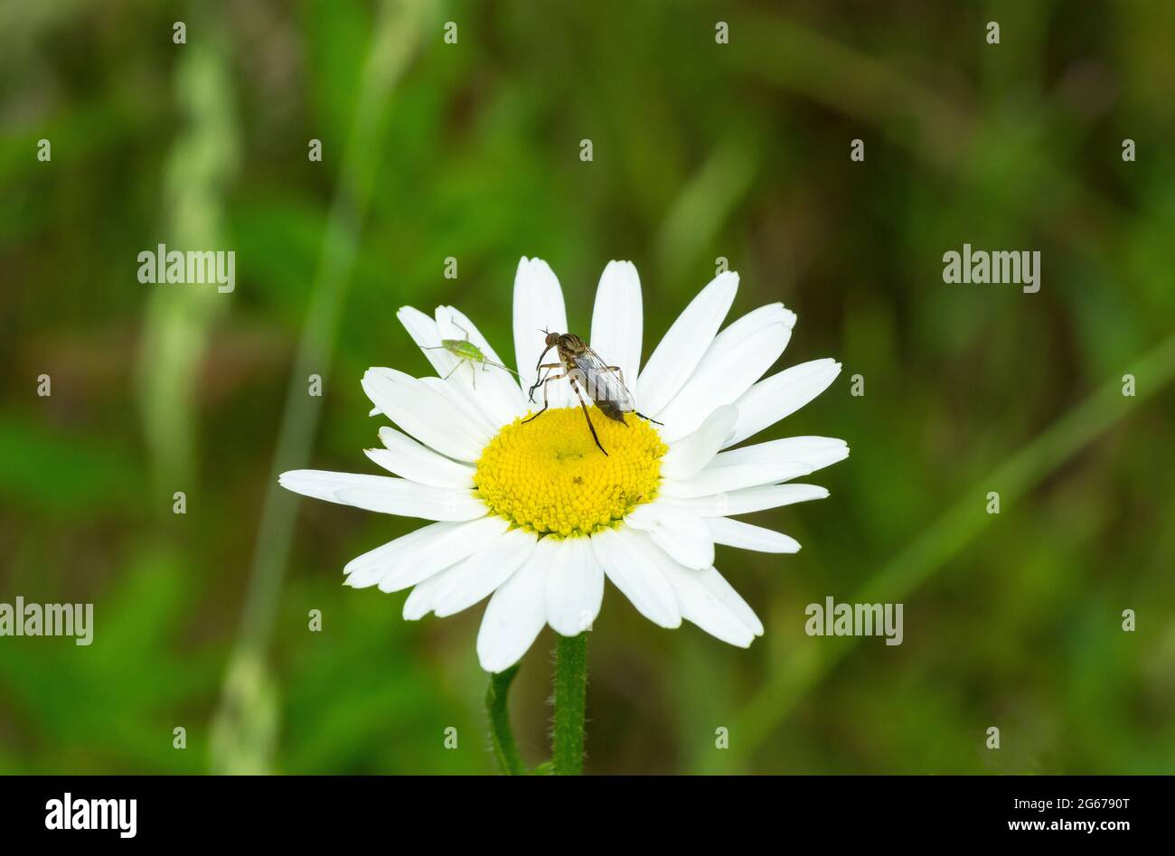 oxeye-daisy-greenfly-and-flying-insect-2G6790T.jpg