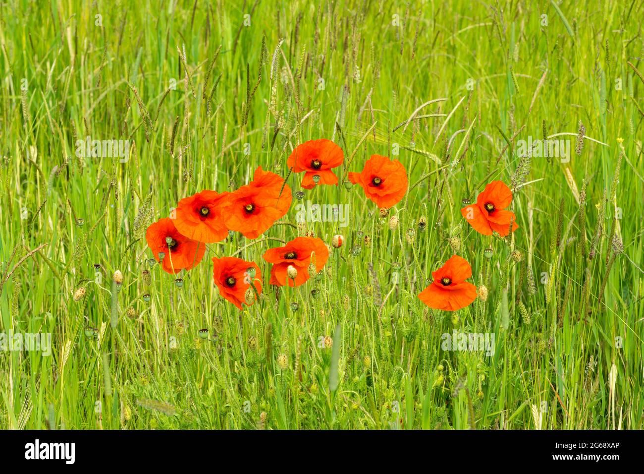poppies-growing-wild-in-grass-meadow-2G68XAP.jpg